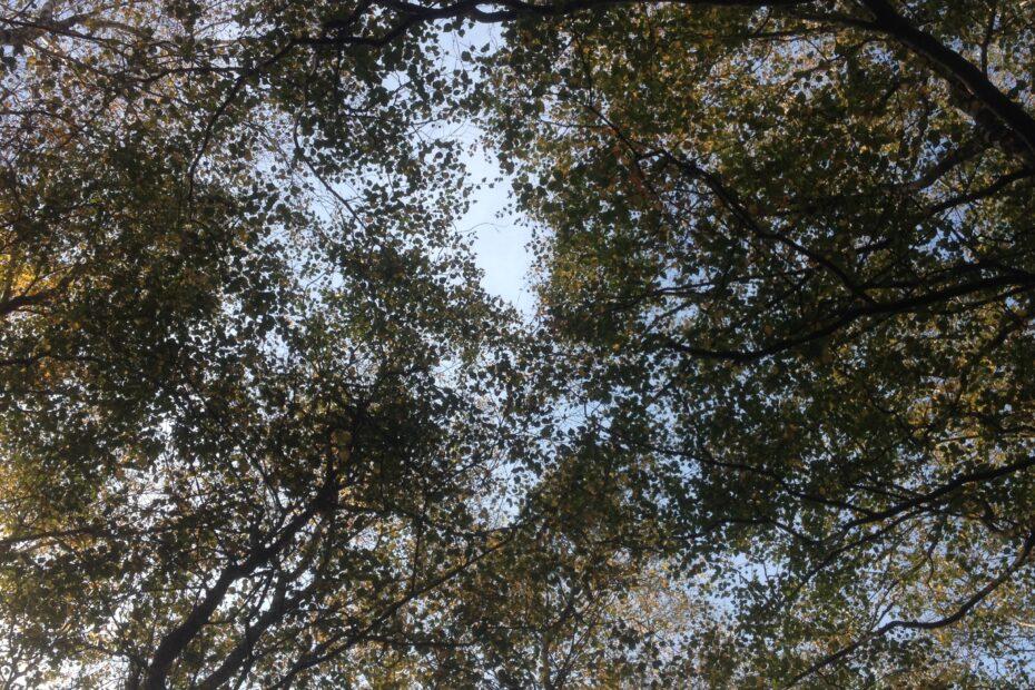 Billede af trækroner i efterårslys, taget nedefra.